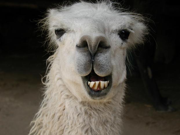 sly llama